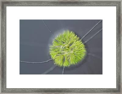 Chaerophora Freshwater Alga Framed Print by Gerd Guenther