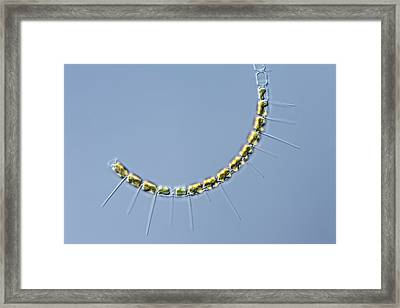 Chaetoceros Diatom Framed Print by Gerd Guenther