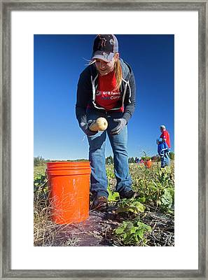 Charitable Use Of Leftover Crops Framed Print by Jim West
