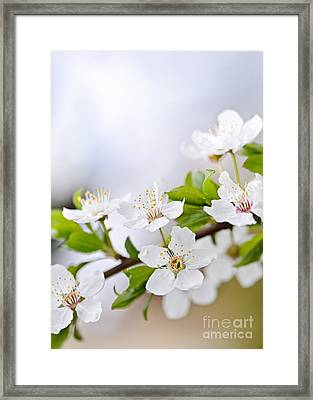 Cherry Blossoms Framed Print by Elena Elisseeva