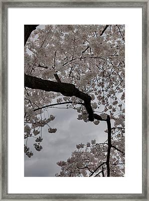 Cherry Blossoms - Washington Dc - 011341 Framed Print by DC Photographer