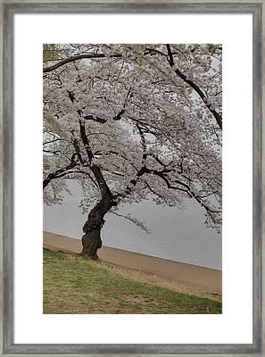 Cherry Blossoms - Washington Dc - 011343 Framed Print by DC Photographer