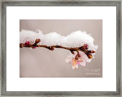 Cherryblossom With Snow Framed Print by Iris Richardson