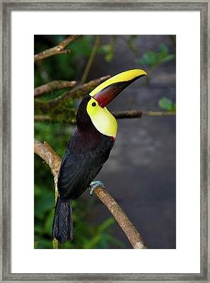 Chestnut-mandibled Toucan, Ramphastos Framed Print by Thomas Wiewandt
