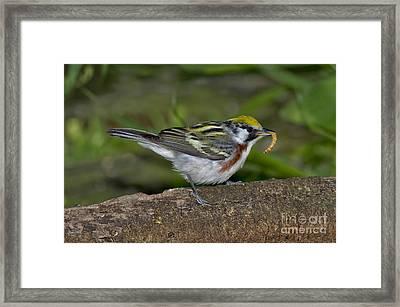 Chestnut-sided Warbler Framed Print by Anthony Mercieca