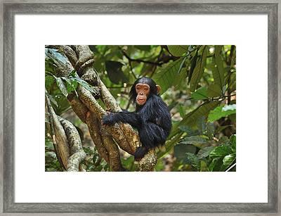 Chimpanzee Baby On Liana Gombe Stream Framed Print by Thomas Marent