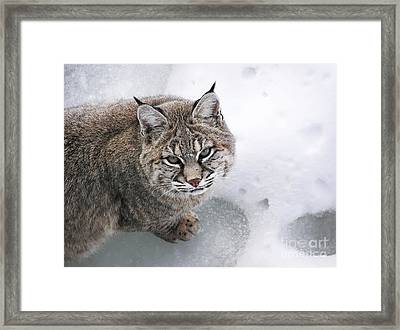 Close-up Bobcat Lynx On Snow Looking At Camera Framed Print by Sylvie Bouchard