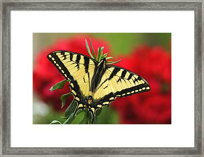 Close Up Of A Canadian Tiger Framed Print by Greg Martin