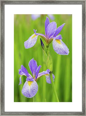 Close-up Of Blue Flag Iris Iris Framed Print by Panoramic Images