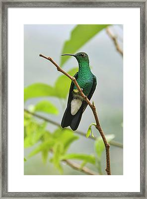 Colombia, Minca Hummingbird (white Framed Print by Matt Freedman