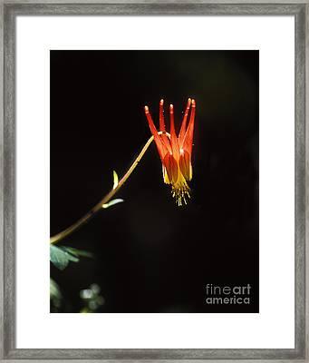 Columbine Framed Print by Steven Ralser
