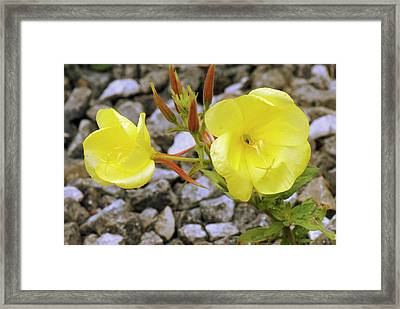 Common Evening Primrose Framed Print by Adrian Thomas