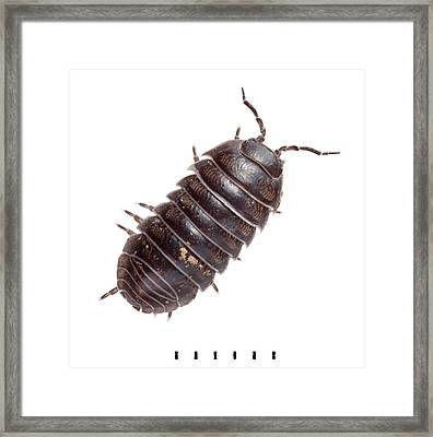 Common Pill Woodlouse Framed Print by Natural History Museum, London