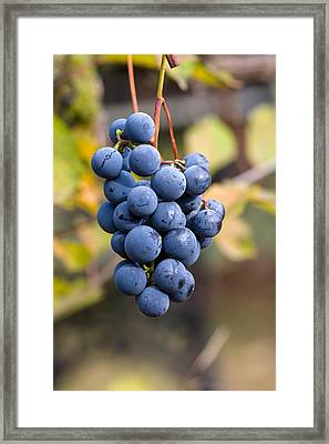 Concord Grapes Framed Print by Michael Russell