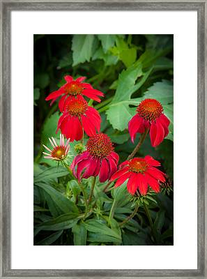 Coneflowers Echinacea Red  Framed Print by Rich Franco