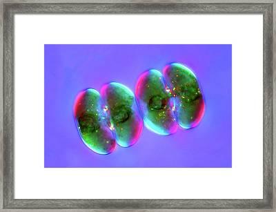 Cosmarium Desmids Framed Print by Marek Mis