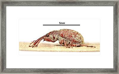 Cotton Boll Weevil Framed Print by Natural History Museum, London