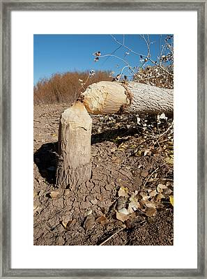Cottonwood Tree Cutting By Beavers, New Framed Print by Larry Ditto