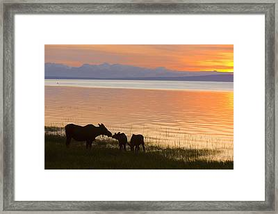 Cow And Two Calf Moose Feeding Along Framed Print by Kevin Smith