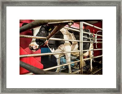 Cow In Milking Machine Framed Print by Aberration Films Ltd