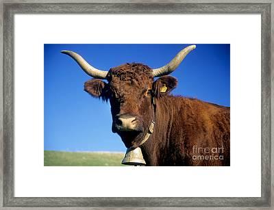 Cow Salers Framed Print by Bernard Jaubert