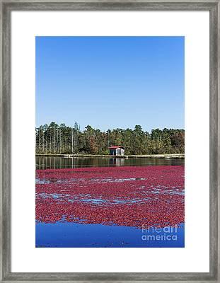 Cranberry Harvest Framed Print by John Greim