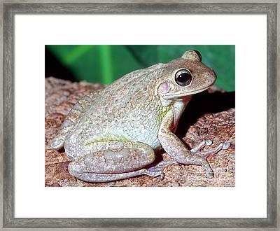 Cuban Tree Frog Osteopilus Framed Print by Millard H. Sharp