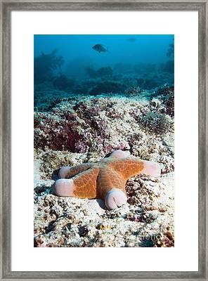 Cushion Star Starfish Framed Print by Georgette Douwma