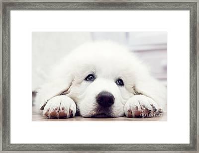 Cute White Puppy Dog Lying On Wooden Floor Framed Print by Michal Bednarek