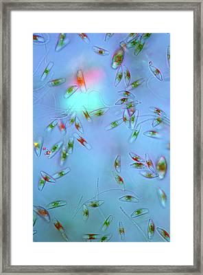 Cymbella Diatoms Framed Print by Marek Mis