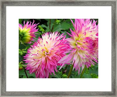 Dahlias In October Framed Print by Dianne Cowen