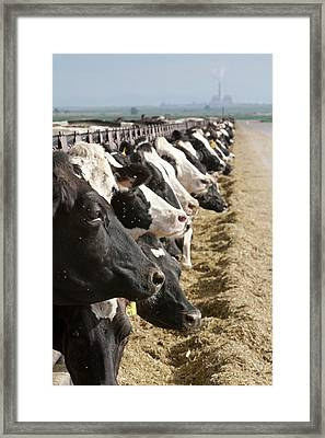 Dairy Cows Framed Print by Jim West