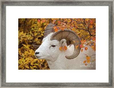 Dalls Sheep Ram Denali National Park Framed Print by