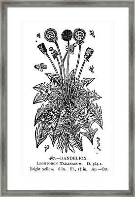 Dandelion Framed Print by Granger
