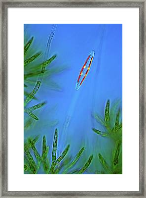 Diatom And Green Algae Framed Print by Marek Mis