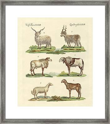 Different Kinds Of Sheep Framed Print by Splendid Art Prints