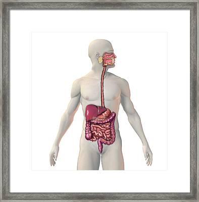Digestive System Framed Print by Carol & Mike Werner