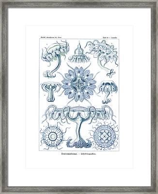 Discomedusae Framed Print by Ernst Haeckel