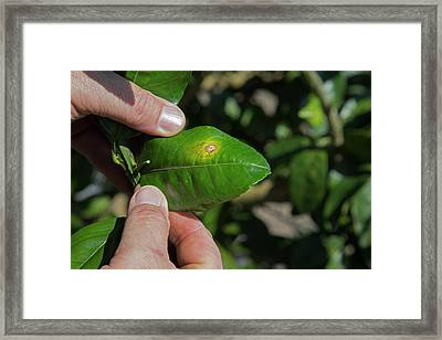 Diseased Grapefruit Tree Framed Print by Jim West