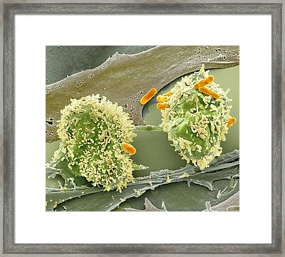 Dividing Cancer Cell, Sem Framed Print by Science Photo Library