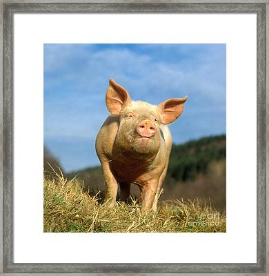 Domestic Pig Framed Print by Hans Reinhard