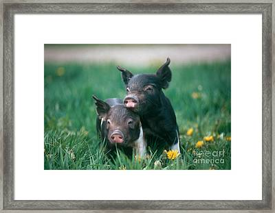 Domestic Piglets Framed Print by Alan Carey