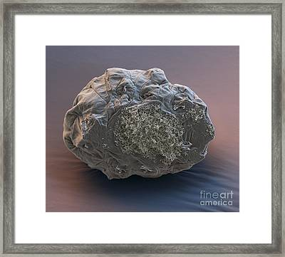 Dormant Water Bear Framed Print by Eye of Science and Science Source