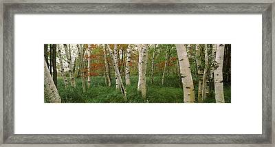 Downy Birch Betula Pubescens Trees Framed Print by Panoramic Images