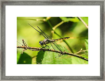 Dragonfly Framed Print by Steven  Taylor