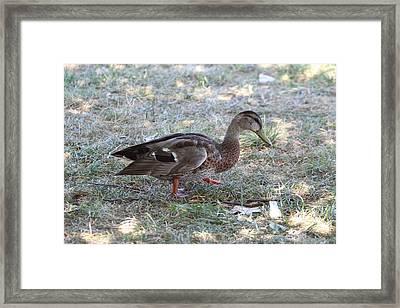 Duck - Animal - 01131 Framed Print by DC Photographer
