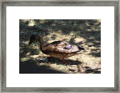 Duck - Animal - 011311 Framed Print by DC Photographer