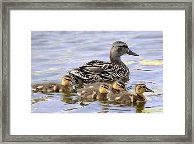 Duck Soup 4 Framed Print by Fraida Gutovich