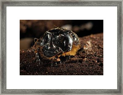 Dung Beetle Framed Print by Philippe Psaila