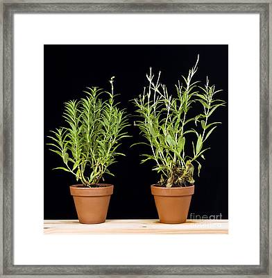 Effects Of Sunlight On Plant Growth Framed Print by Martyn F. Chillmaid